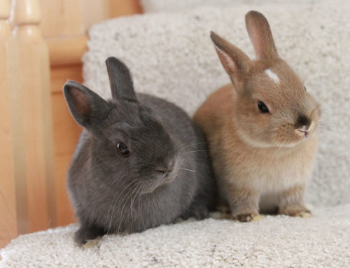 Rabbit Haemorrhagic Disease Virus Release